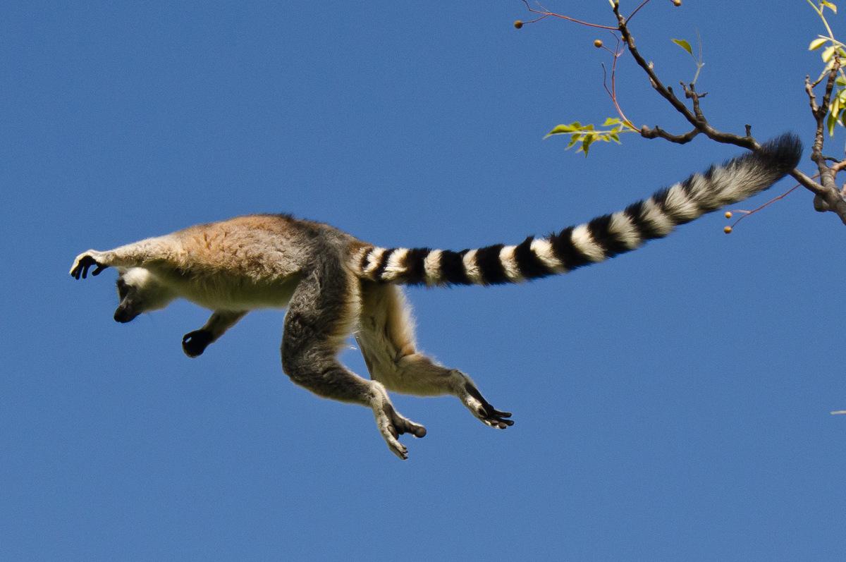madagascar, lemur catta