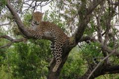 léopard qui pendouille
